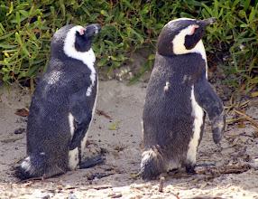 Photo: African Penguins (formorly, JackassPenguins)