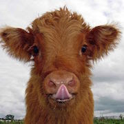 Сонник теленок