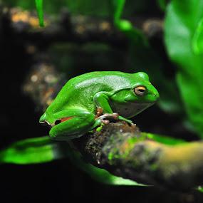 Moltrecht Green Tree Frog by Vinay Tyagi - Animals Amphibians