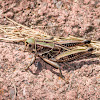 Plains Lubber Grasshopper (male)