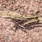 Plains Lubber Grasshopper (male)