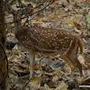chital deer, spotted deer, axis deer