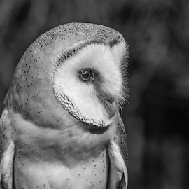 Barn owl by Garry Chisholm - Black & White Animals ( raptor, owl, bird of prey, nature )