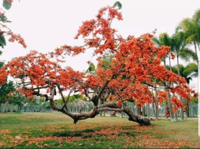 2. ต้นทองกวาว