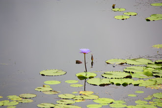 Photo: Year 2 Day 24 -  Lilly Pond