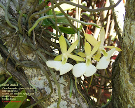 Photo: Ghost Orchid - Dendrophylax fawcettii, showing flowers with ghostly face and long spur, Critically Endangered Grand Cayman endemic.  photo: P. Ann van B. Stafford, April 3, 2008 Cayman Islands Ghost Orchid Dendrophylax fawcettii listed in 100 Most Threatened Species http://www.scribd.com/doc/105589268/Priceless-or-Worthless-Report