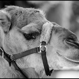 Camel by Dave Lipchen - Black & White Animals ( camel )