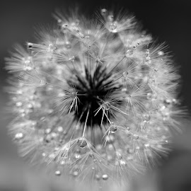 Monotone - Dandelion Clock Wet by Gillian James - Nature Up Close Other Natural Objects ( macro, closeup, dadelion clock, monotone, water drops )