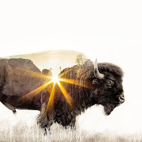 Buffalo,SD by Chris Martin - Digital Art Animals ( buffalo, double exposure, digital art, south dakota, animal )