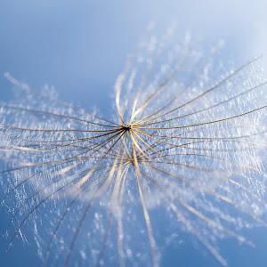 dandelion-clock03.jpg