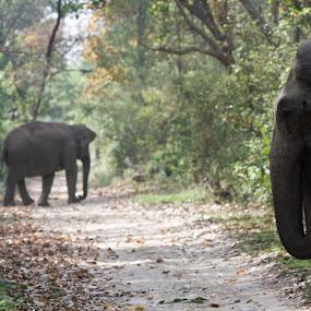 elephant by Arun Baweja - Animals Other Mammals