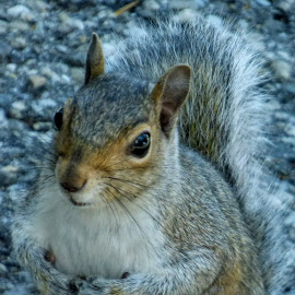 Squirrel by Jen Henderson - Animals Other
