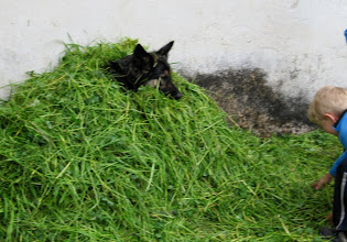Photo: Day 56 - Farm Dog on Camp Site  Being Buried in Grass Cuttings!