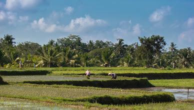 Photo: Rice fields near Ubud