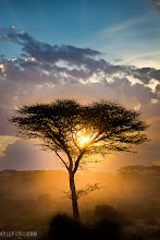 Photo: Sun Tree Ndutu Area, Tanzania, Africa See what the shot looked like before RAW processing at www.kylefoto.com  Driving through the sparingly forested area, the sun was setting in the trees, the arid soil kicking up dust with the every movement, footstep, and breath of wind. As annoying as dust is, it lights up beautifully as the last rays of sunlight caress the branches of the trees.  Photographic Details: As each of these trees drifted by in the view of our safari vehicle I was ever hoping I'd find a giraffe at sunset so I could get a silhouette of both the magnificent animal and the iconic shape of the acacia tree. Alas there was no giraffe, although the other safari vehicle in our group managed that exact shot, needless to say I was extremely jealous when we recounted our experiences that night at dinner. My best option was to find a particularly nice tree and position ourselves so the sun was where we wanted nestled in the tree like a godlen egg in a nest, this was the final shot out of that little tree sunset exploration moment.  I took the photo and looked at the scene again and noticed how dull it looked in camera. The colours were nothing the way I saw them, we had a deep blue sky and beautiful orange light pouring out of a hole in the clouds, but when I looked at the back of the camera the colours were not as bright. Thank goodness I shot in RAW. I was able to shift my colours back to what they needed to be in lightroom, increasing the contrast so I have more dramatic blacks in the tree and more texture in the background.  Compare the original untouched photo at www.kylefoto.com  For #treetuesday curated by +Christina Lawrie and +Shannon S. Myers #safari #tanzania #africa