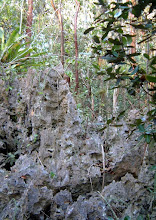 Photo: Phytokarst - pinnacle rock, the very rocky swamp trail, Ironwood Forest. Photo: Ann Stafford, Grand Cayman, April 2003. Hell in West Bay and the Ironwood Forest are both CAYMAN FORMATION dolostone rock. http://gsabulletin.gsapubs.org/content/84/7/2351