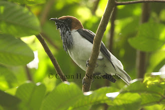 Photo: Bearded bellbird