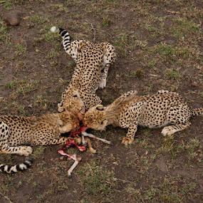 Feeding Cheetahs by Ken Dyball - Animals Other ( masai mara kenya cheetah prey eating big cats )