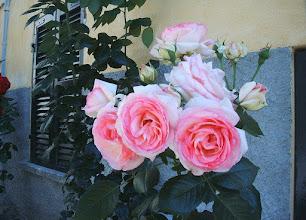 Photo: De rozen staan er weer mooi bij