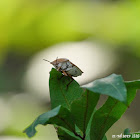 Tessaratoma papillosa 茘蝽