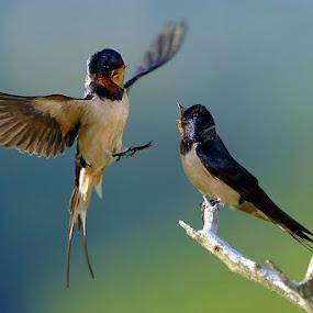 Barn swallows by Matej Vranič - Animals Birds ( landing, fight, wings, barn swallows, in air, hirundo rustica )