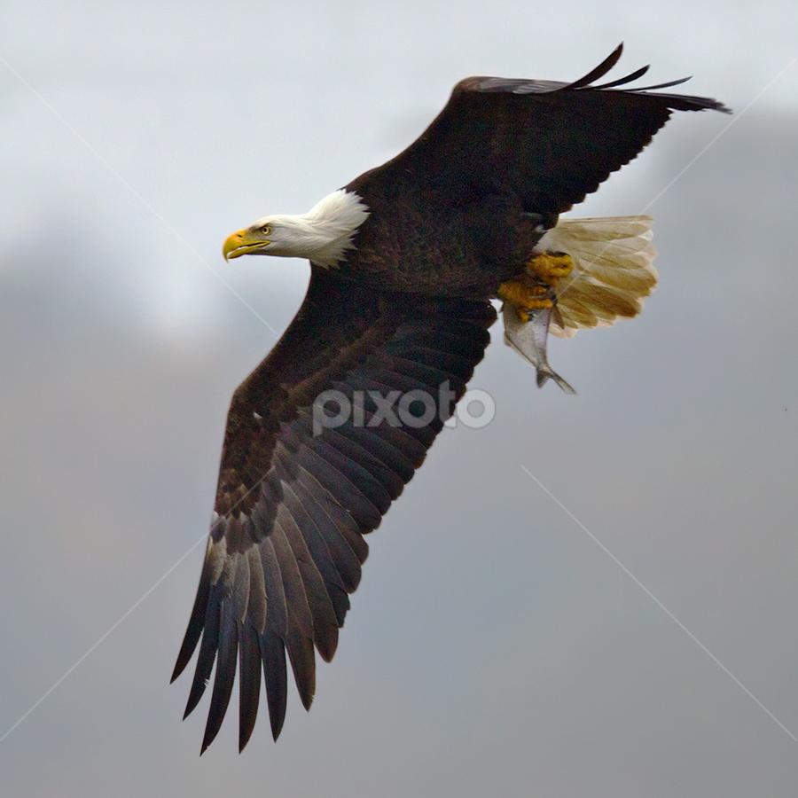 by Herb Houghton - Animals Birds ( bird of prey, eagle, bald eagle, raptor, fishing )