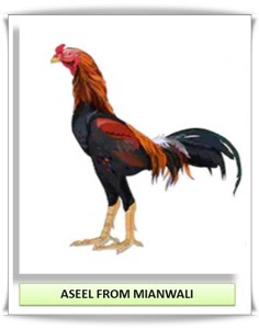ASEEL FROM MIANWALI