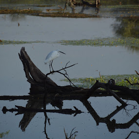 by Alette Bester - Landscapes Waterscapes ( waterscape, log, bird, nature photography, wildlife )