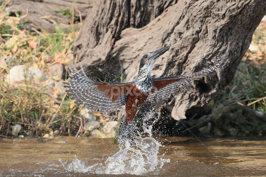Giant bath by Neal Cooper - Animals Birds ( giant kingfisher )
