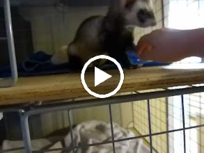 Video: Tigger the biting ferret not biting any more. :-)