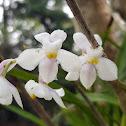 The Beautiful Osmoglossum
