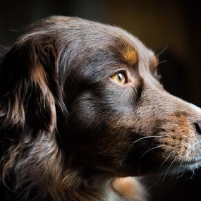 Ginger by Crazy  Photos - Animals - Dogs Portraits ( australian sheperd, herding dog, pet, beautiful, low light, dog, animal, aussie )