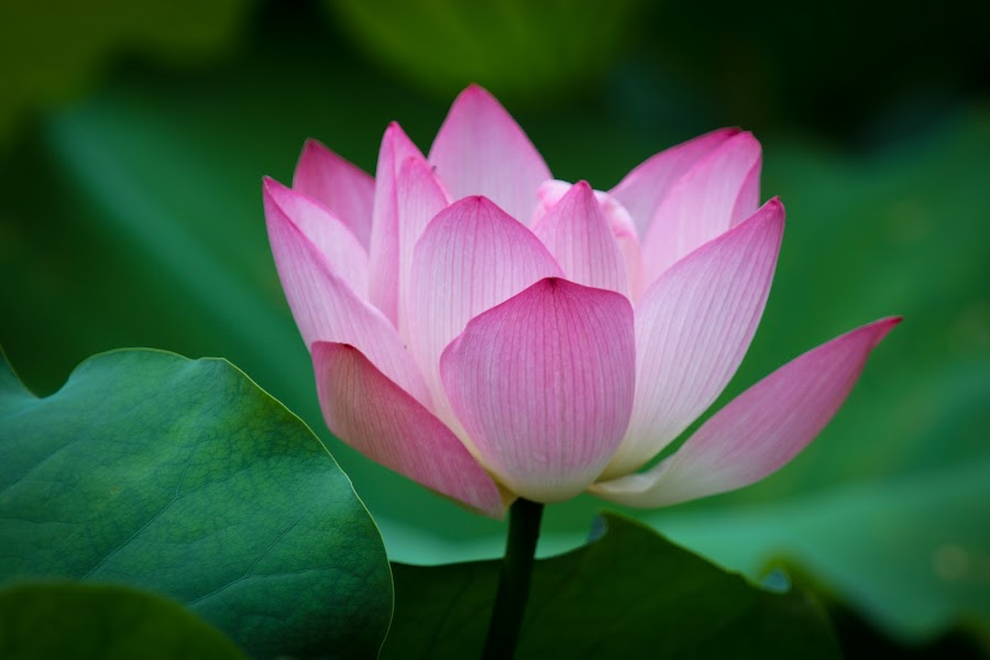 Proud Lotus by Renato Marques - Flowers Single Flower ( lotus, single, proud, garden, flower,  )