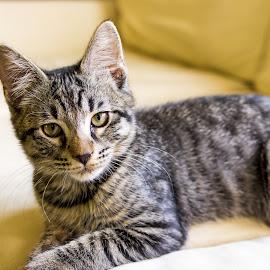 cat by Scott Carver - Animals - Cats Portraits ( cat, housecat, pet, cat portrait, animal,  )