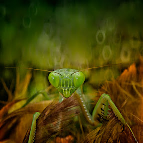 The Mantis... by Bang Ado - Animals Insects & Spiders