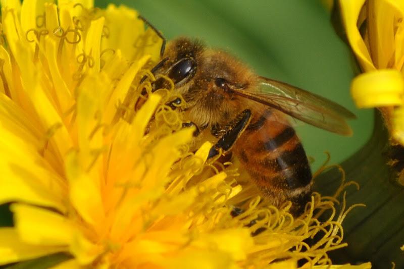 La mia ape di Alirubamele