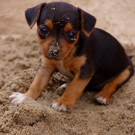 Livin by Savannah Eubanks - Animals - Dogs Puppies ( sand, puppy, sweet, cute, sitting, little )