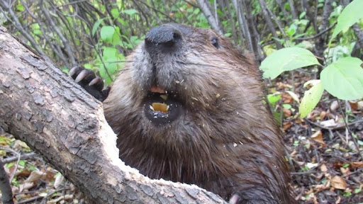 Fascinating Footage Shows Busy Beaver Effortlessly Chewing Through a Fallen Tree