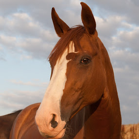 Sunny Horse by Lizzy MacGregor Crongeyer - Animals Horses ( chestnut, horse, summer, morning, sun,  )