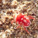 Giant Velvet Mite