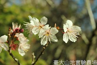 Photo: 拍攝地點: 梅峰-梅楓園 拍攝植物:暖地櫻桃 拍攝日期:2013_02_15_FY