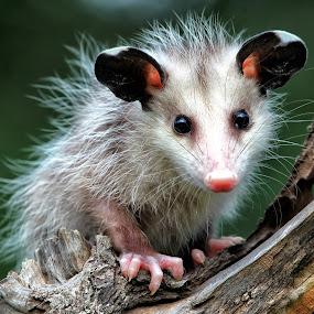New Born Baby Possum by William Rainey  - Animals Other Mammals ( mammals, babies, animals, arkansas. wildlife )