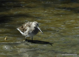 Photo: Lopng-billed Dowitcher at Laguna de Quelele