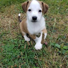 Wee Willie Winkie by Ingrid Bjork - Animals - Dogs Puppies ( puppy, portrait, dog,  )