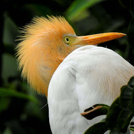 Egret by SANGEETA MENA  - Animals Birds (  )