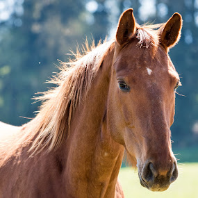 Anna Katharina by Crazy  Photos - Animals Horses ( horseriding, mare, riding, county, horse, thoroughbred, brown, outside )
