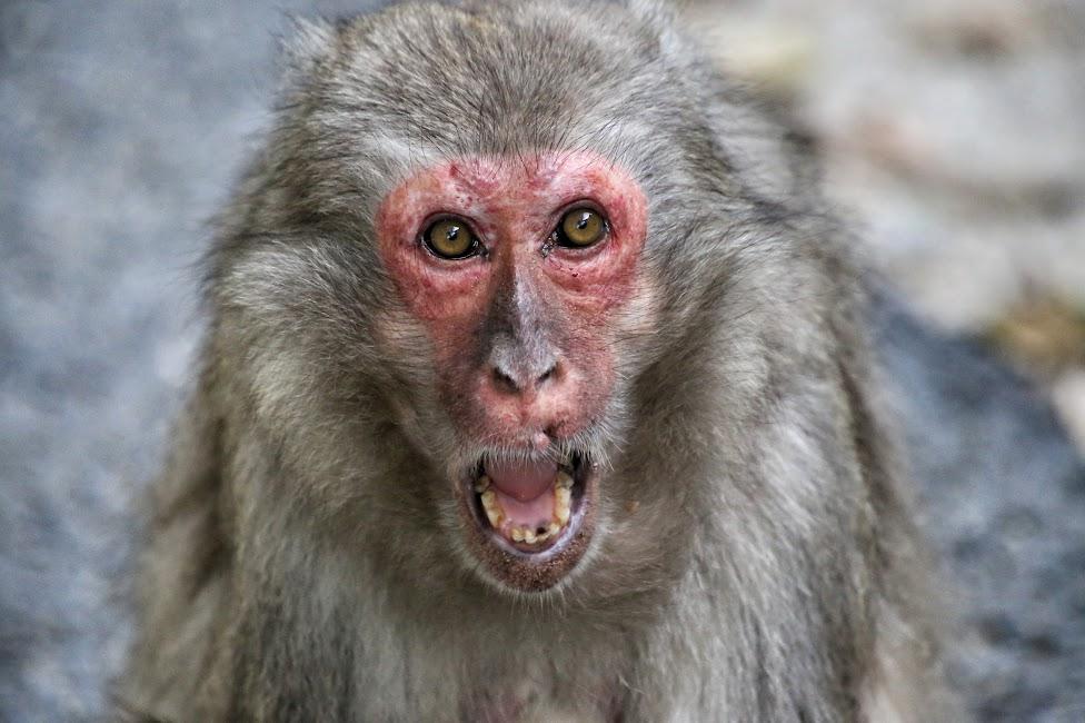 Beppu, Takasakiyama Monkey Park, małpy