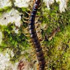 Japanese Giant Centipede
