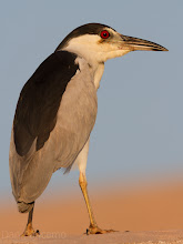 Photo: Black-crowned night heron