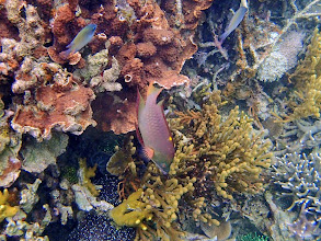 Photo: Epibulus brevis (Dwarf Slingjaw Wrasse) Carlson et al. (2008), Sand Island, Palawan, Philippines.